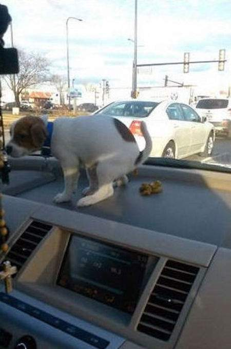 chiot fait caca dans la voiture