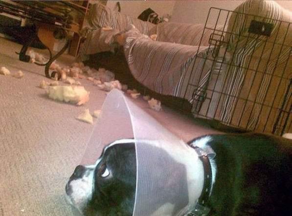 chien a détruit le canapé