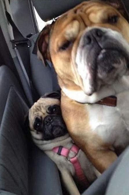 chien drôle dans la voiture