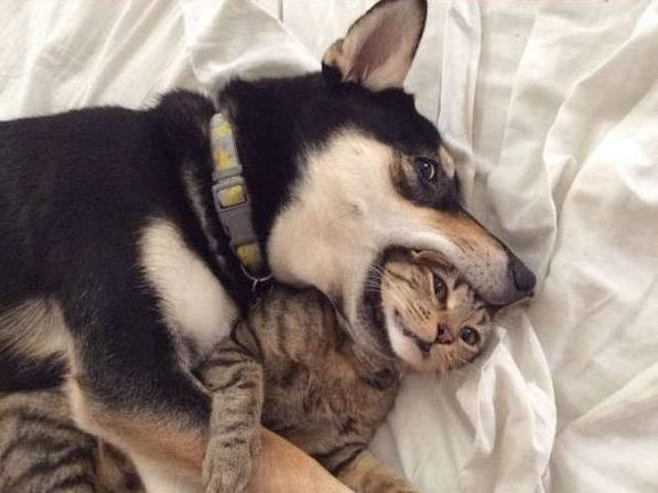 chien qui mange la tete du chat
