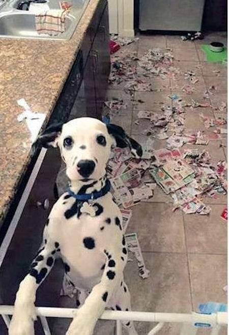 dalmatien déchiqueté les journaux