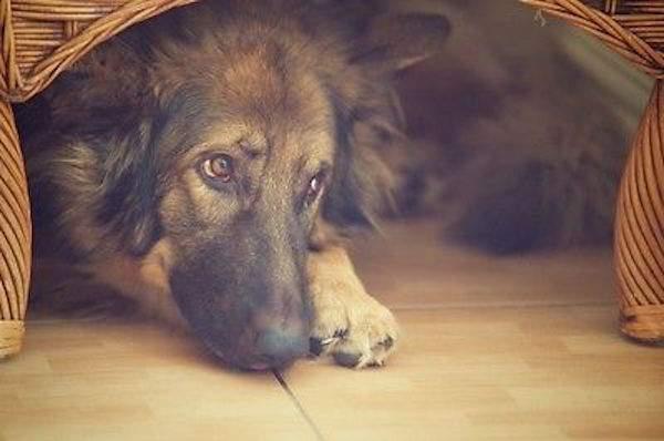 un chien se cache sous un fauteuil pour se rassurer