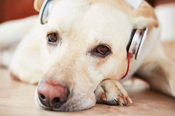 la musique apaise les chiens anxieux