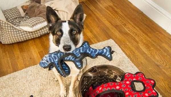 un chien qui joue dans la maison