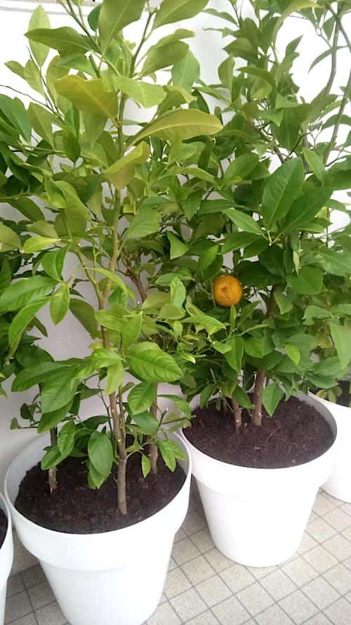 comment cultiver des agrumes sur la terrasses