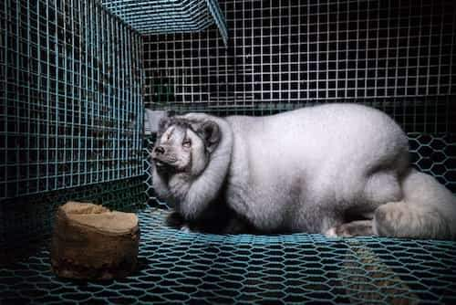 élevage de renard pour fourrure devenu obèse