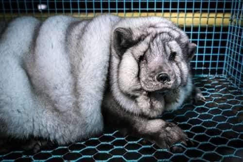 fourrure pour vêtement animaux maltraités