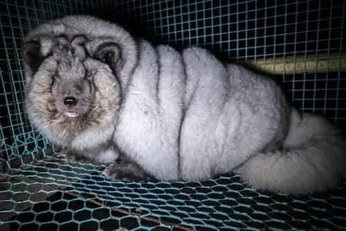 renard bleu obèse pour sa fourrure