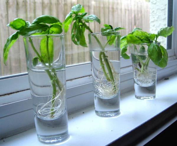 12 herbes que vous pouvez faire pousser toute l 39 ann e juste dans de l 39 eau. Black Bedroom Furniture Sets. Home Design Ideas
