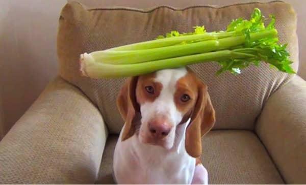 les chiens peuvent manger du céleri