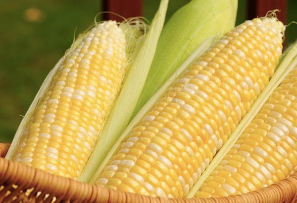les chiens peuvent manger des grains de maïs