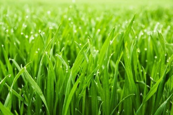 les chiens doivent éviter de manger de l'herbe