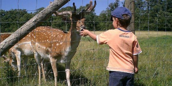 un enfant donne à manger à un cerf