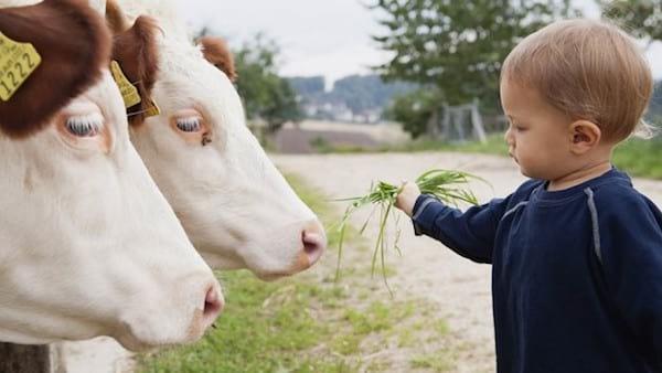 Enfant qui donne à manger à des vaches