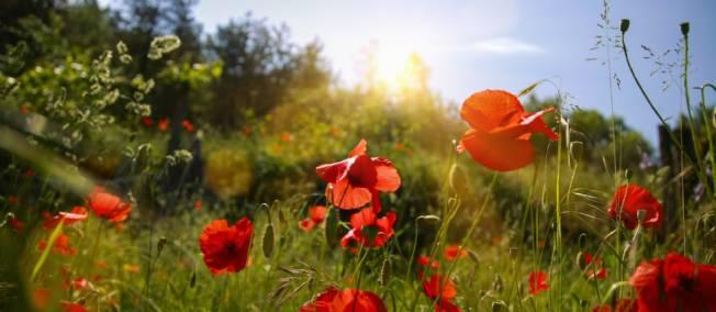 un champs de coquelicots au soleil