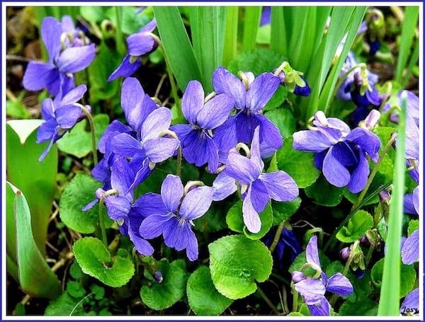 24 plantes comestibles faciles reconna tre - Image fleur violette gratuite ...