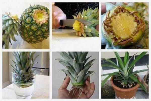 descriptif pour faire pousser un ananas à la maison étape par étape