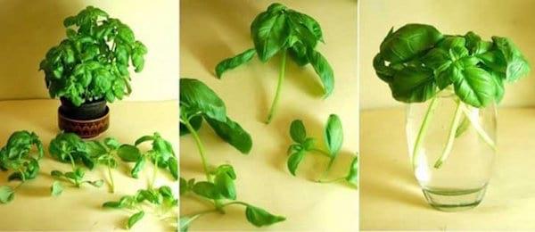 étape par étape comment faire pousser du basilic