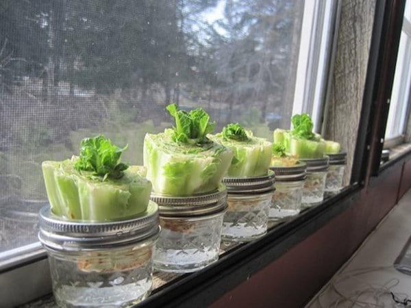 des pieds de salades poussent dans des bocaux