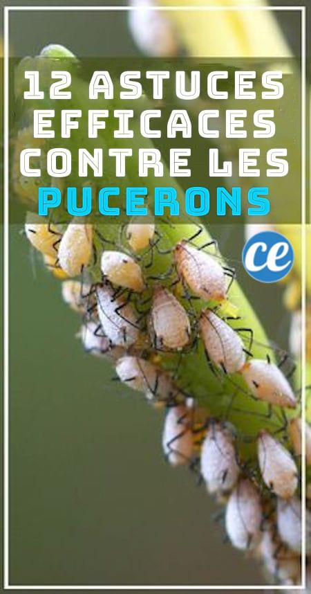 12 astuces pour lutter contre les pucerons sans pesticides