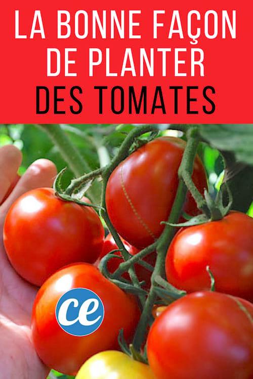 La bonne façon de planter des tomates et d'avoir de belles tomates en quantité