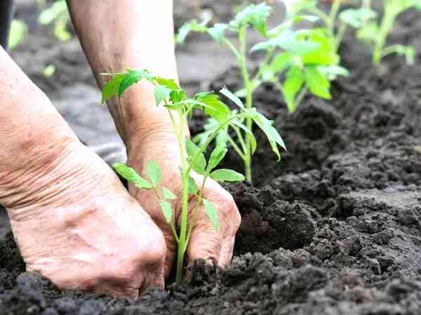 enterrer le pied de tomates jusqu'aux premières feuilles