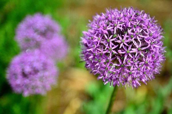 Une fleur bleue du genre Allium