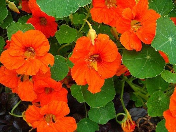 Des fleurs de capucines et des feuilles vertes