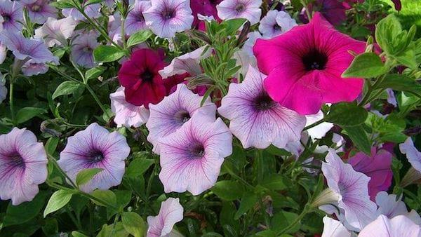 Des fleurs de pétunia