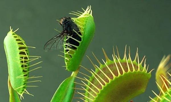Dionée attrape-mouche pour chasser les insectes