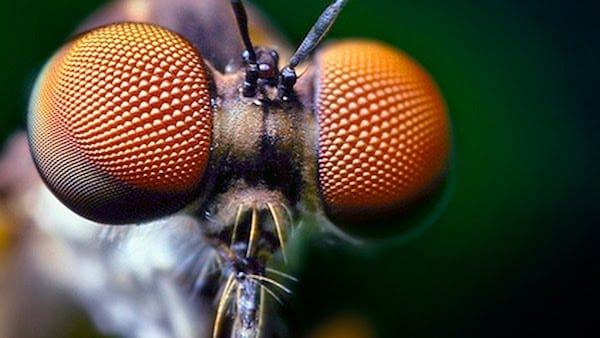 Des yeux de mouches.
