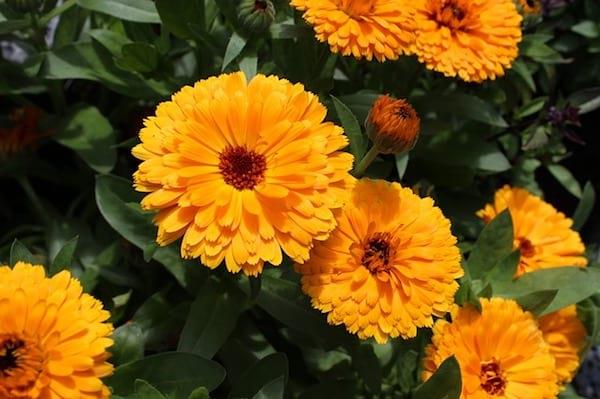 Des fleurs de souci