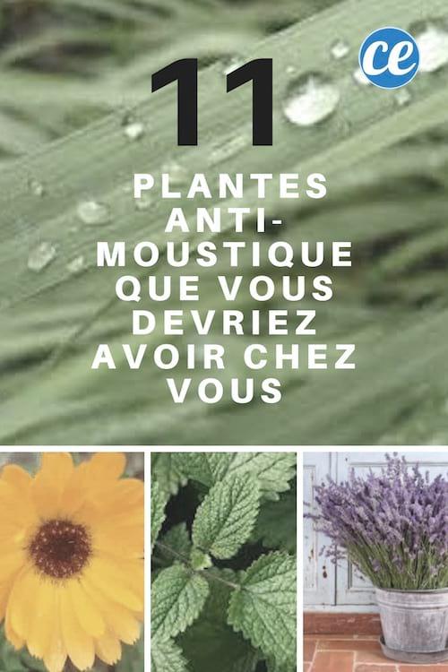les plantes anti moustiques à mettre chez soi