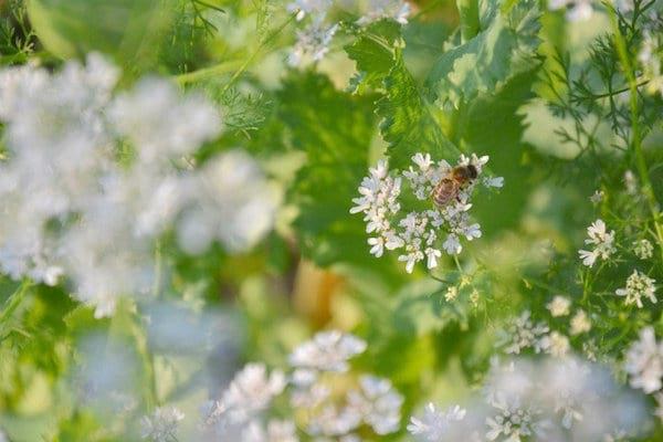 une abeille butine la coriandre