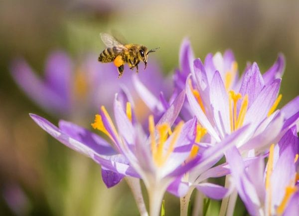 une abeille vole vers un crocus
