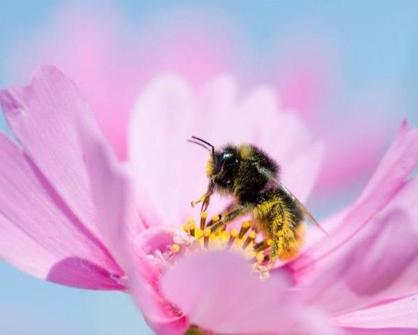 une abeille butine un cosmos rose