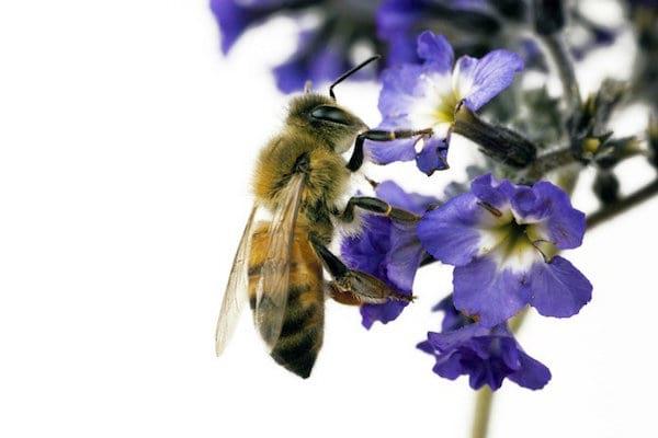 une abeille est posée sur un heliotrope bleu