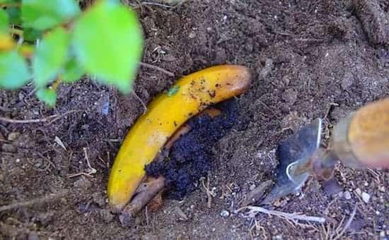 éloigner les pucerons avec des peaux de bananes
