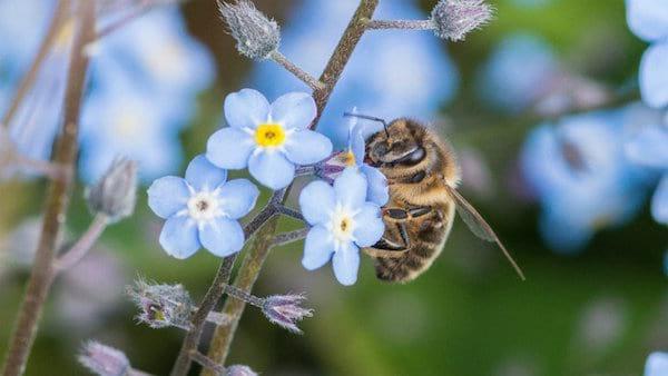 une abeille butine un myosotis