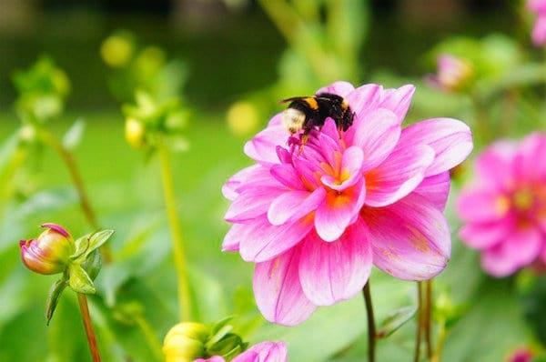 Les abeilles aiment butiner les dahlias