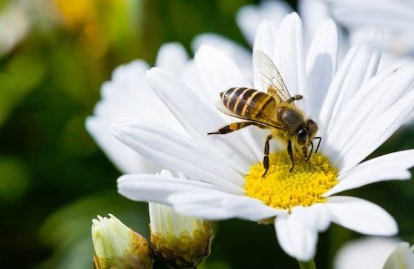 une abeille butine une marguerite