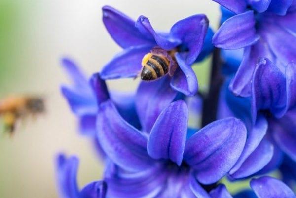 une abeille butine des jacynthes