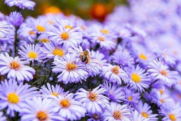 les abeilles butinent les asters