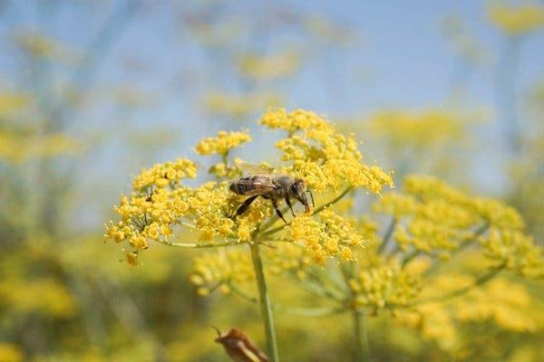 une abeille est posée sur une fleur de fenouil