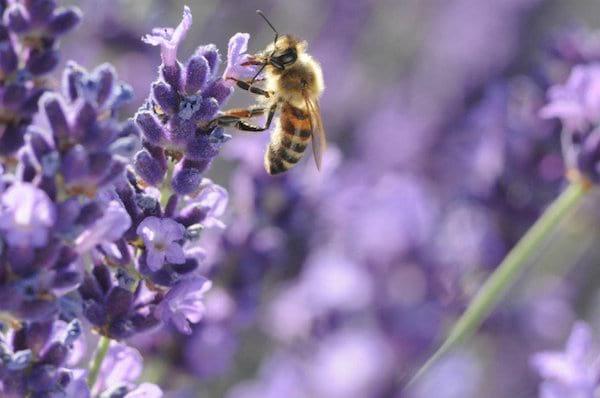 vous voulez faire plaisir aux abeilles plantez ces 22. Black Bedroom Furniture Sets. Home Design Ideas