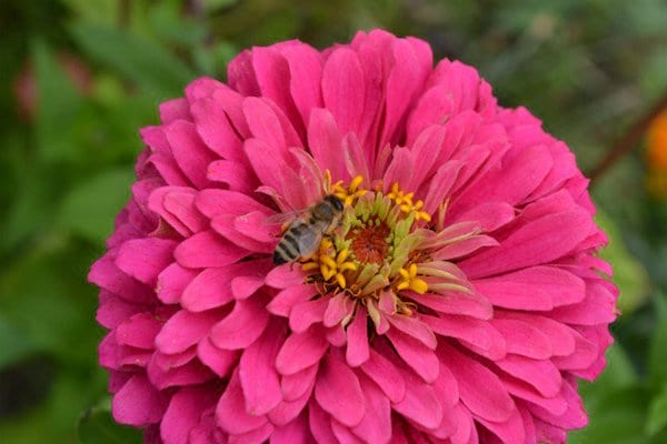 une abeille est posée sur un zinnia rose