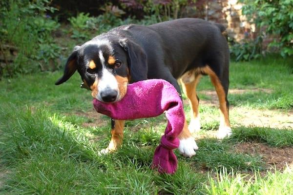 un jouet pour chien avec une chaussette orpheline