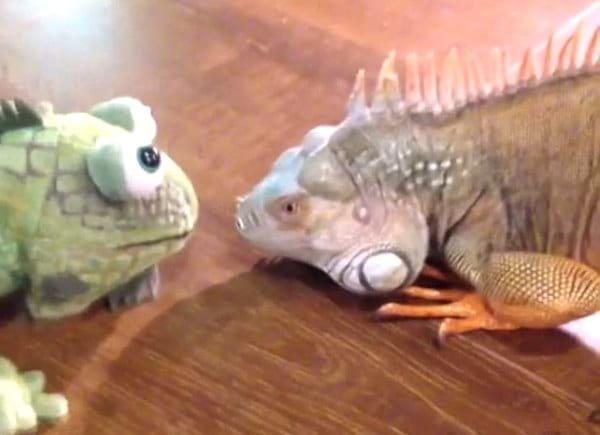 mettre une peluche avec iguane mâle