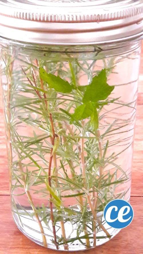 DIY de desodorisant maison à base d'alcool et d'herbes aromatiques comme du romarin