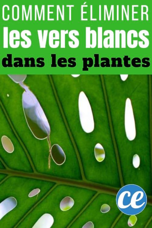 vers blancs plante verte